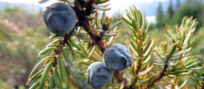wacholder juniper berries